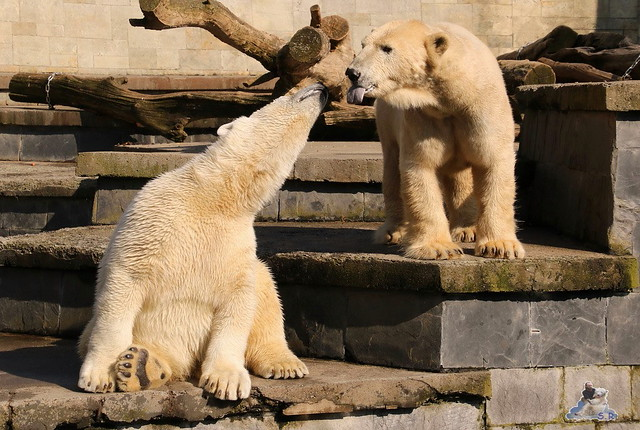 Eisbär Fiete im Zoo Rostock 16.04.2016  221