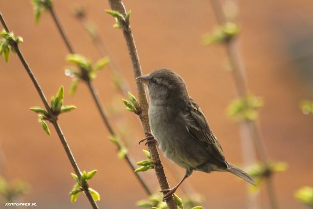 Mus in deForsythia. #Texel #bird #birds #nature #amzing #vogel #natuur #justin #Sinner #pictures #texel #texels #mus #wadden #waddeneiland #holland #holland #dutch #home #canon #piep #sjilp #cute #birdlife