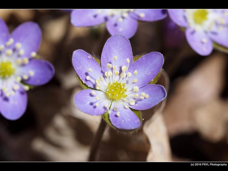 Hepatica (Anemone sp.)
