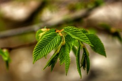 Spring leaves. Hell Hollow, Lake Metroparks in Ohio