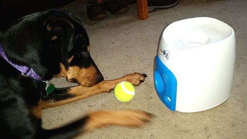 Doberman Puppy enrichment with Toys R Us and Petsmart Fetch 'n Play game - Lapdog Creations