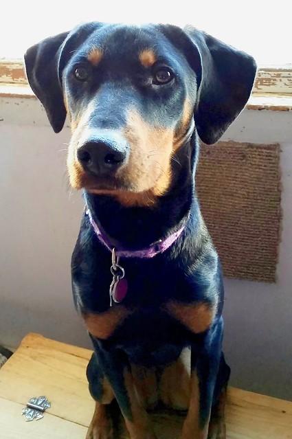 Doberman Puppy #adoptdontshop #rescueddogs #LapdogCreations