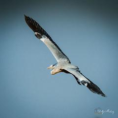 Grey Heron - Birds of Flight
