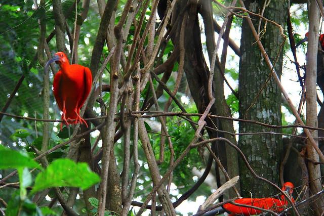 Guara - Parque das aves - Foz do Iguacu / Brasil
