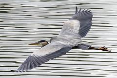Great Blue Heron (flying)