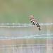 Hoopoe, Upupa epops by Midlands Reptiles & British Wildlife Diaries