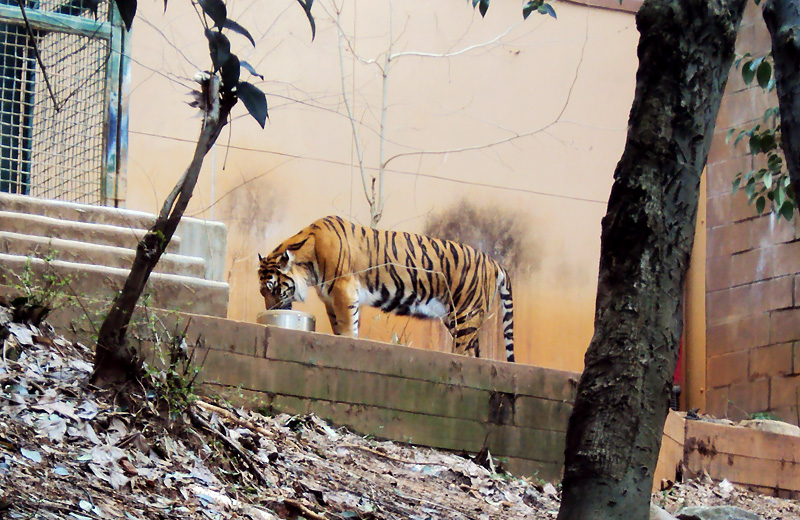 zoo_2016_tiger_1