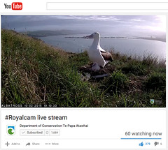 #Royalcam live stream 02.2016 #wildnz