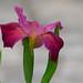 Zigzag iris by jim_mcculloch