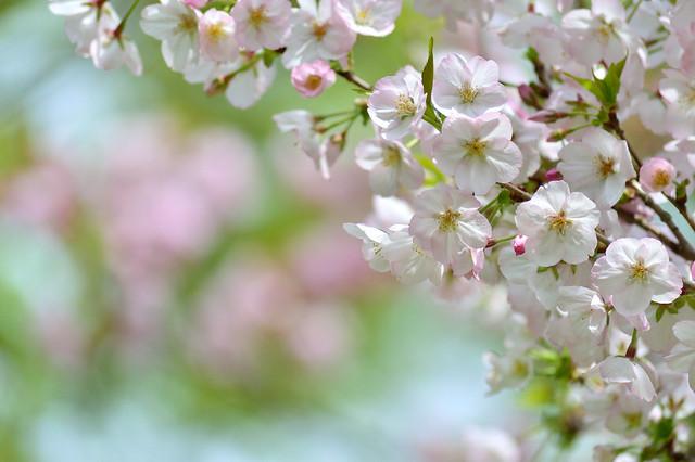 サクラ-ゴテンバザクラ(御殿場桜)