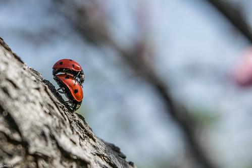 macro spring greece crete ladybird ladybug mating ladybugs ladybeetle springtime heraklio siminis