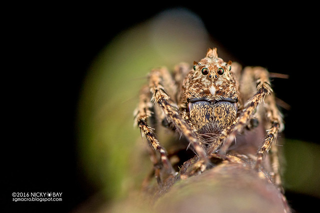 Lynx spider (Hamataliwa sp.) - DSC_7004