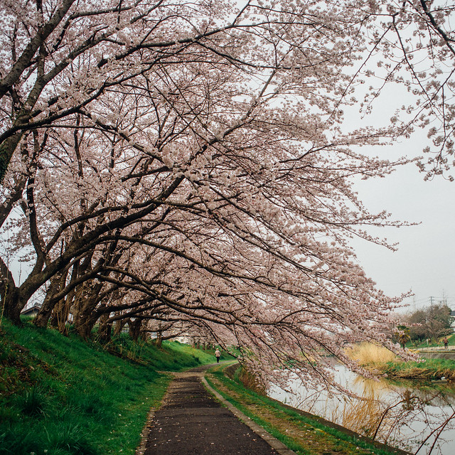 CherryBlossoms_54