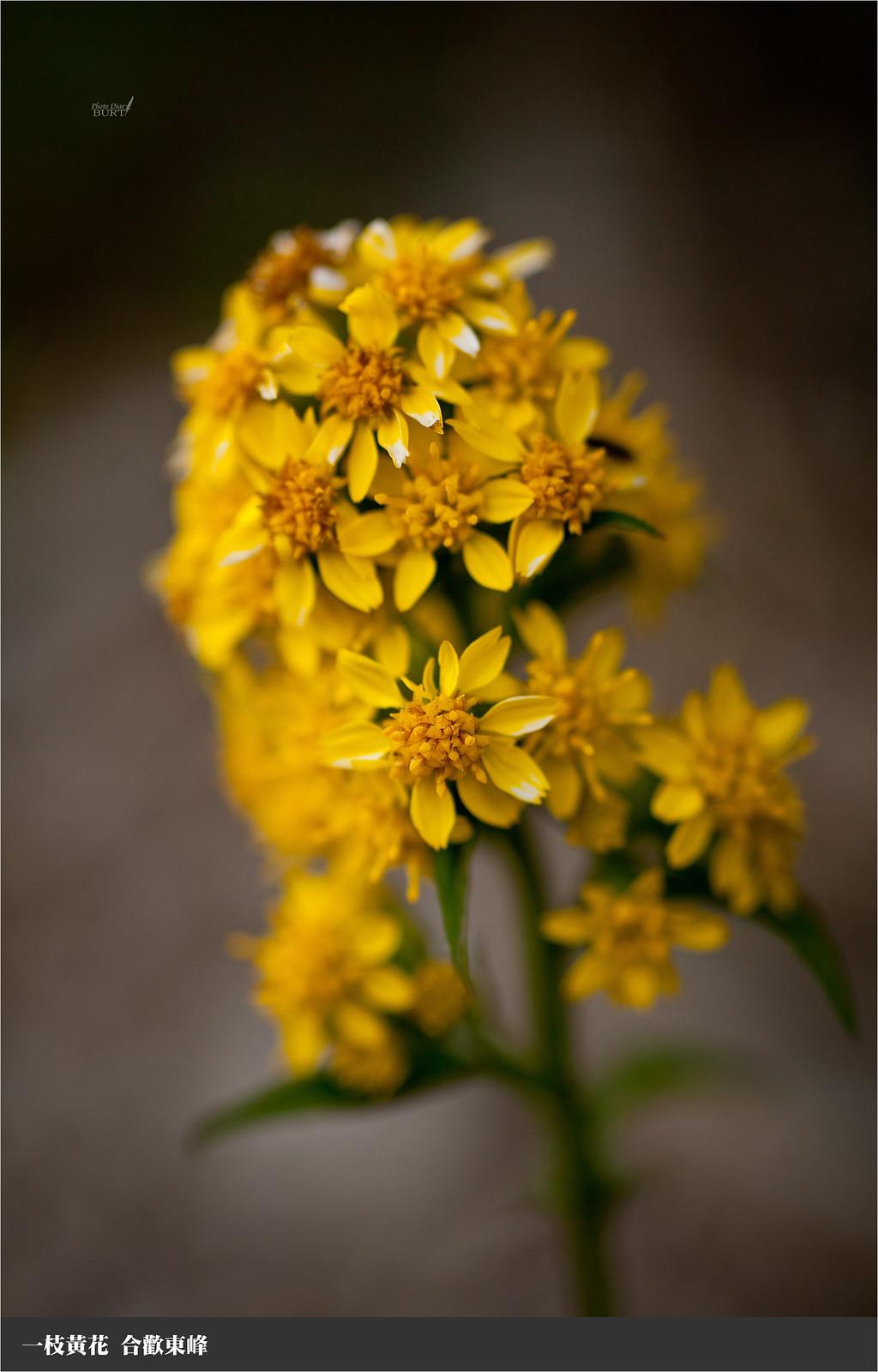 一枝黃花7
