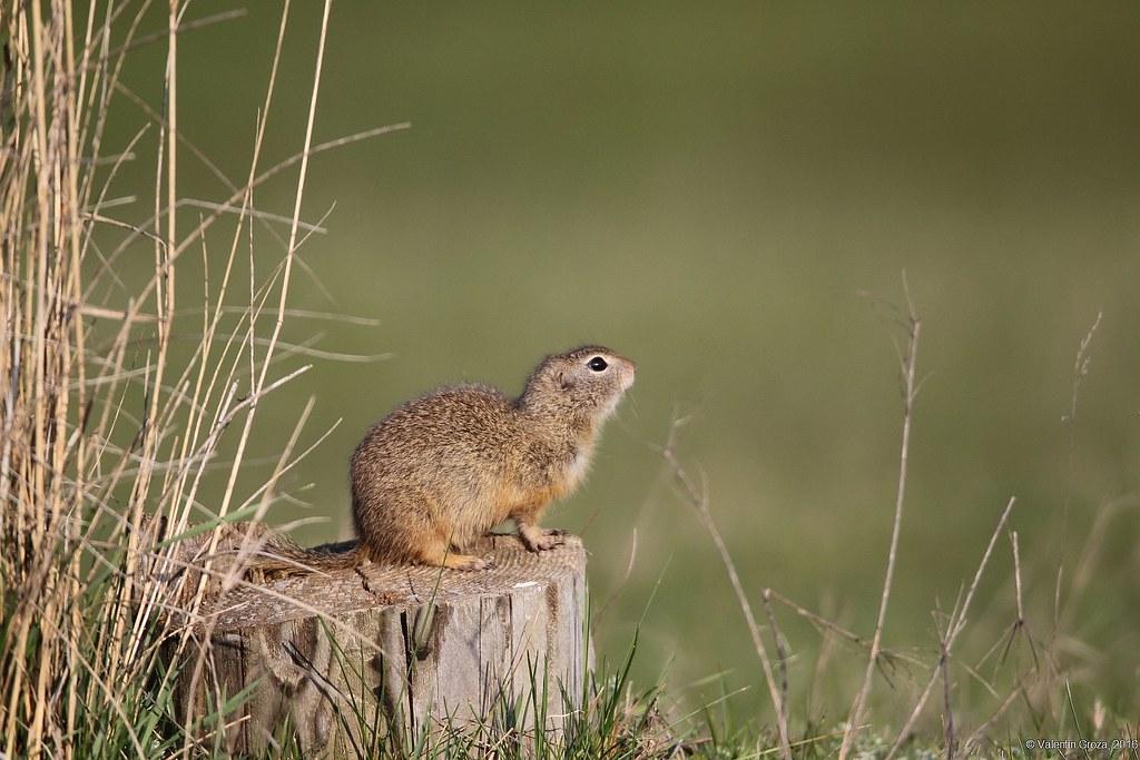 European ground squirrel 02