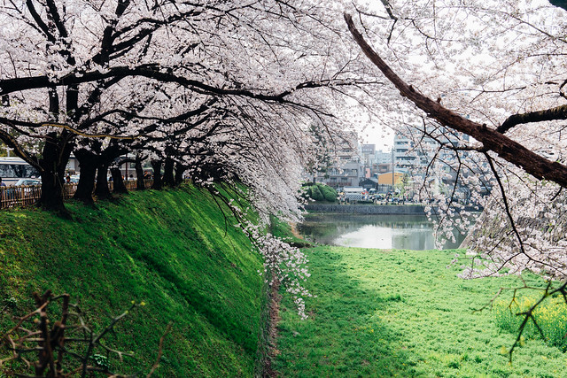 CherryBlossoms_161