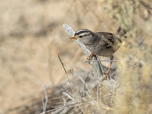 White-Crowned Sparrow 18_7D2_140116