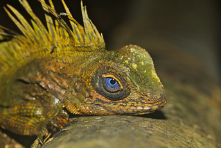 Blue-eyed Anglehead Lizard (Gonocephalus liogaster) male (Photo by Xavier MALLERET)
