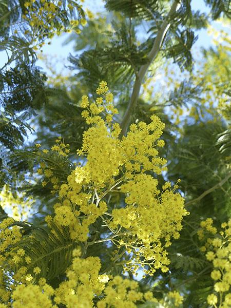 mimosa 1