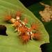 "Stinging Nettle Slug Caterpillar (Cup Moth, Limacodidae) ""The Clown"""