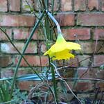 sic transit daffodil