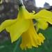 February daffodil