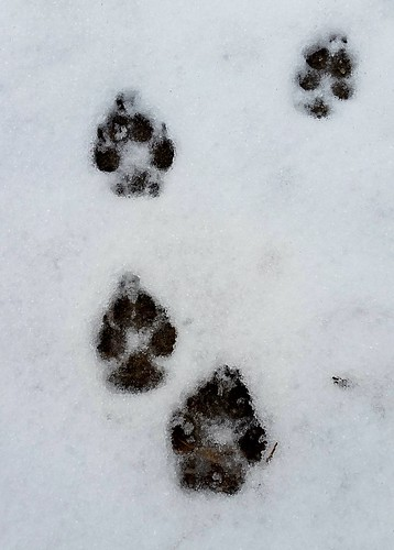 dog paw prints in the snow #NewEnglandWinter #dogpawprints #LapdogCreations ©LapdogCreations