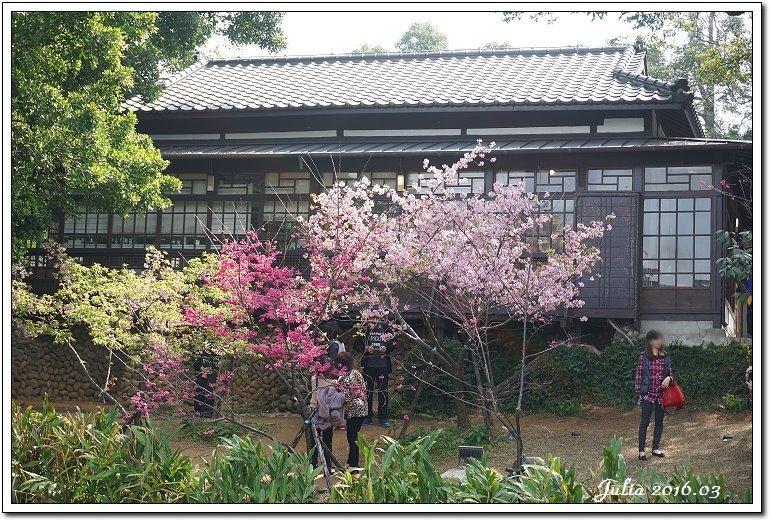 麗池公園河津櫻 (1)