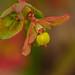 Euphorbia peplus by Jesús Emilio Monje