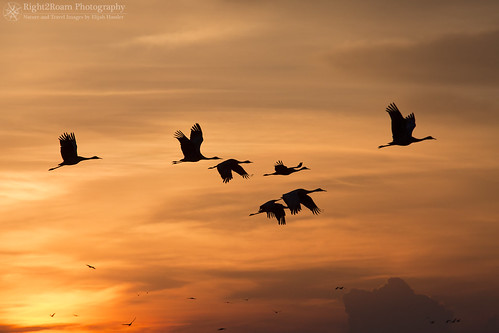 bird silhouette sunrise river flying nebraska wildlife cranes migratory migration soaring platte sandhill gruscanadensis