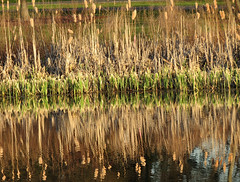 cattails growing
