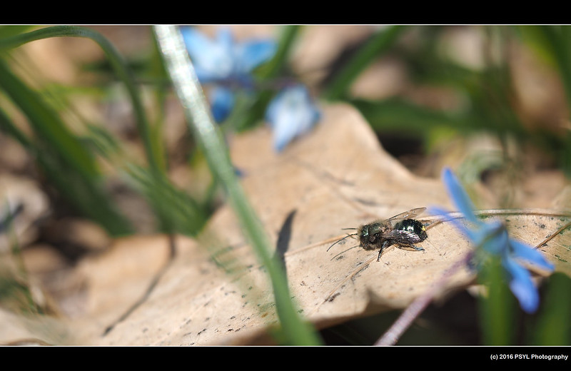 Resting Osmia bee
