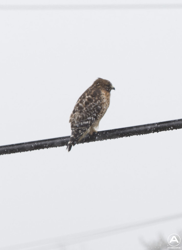 Snow hawk (snow focus)