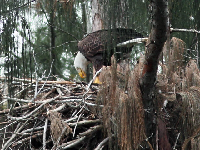 Bald Eagle male feeding nestling 5-20160119