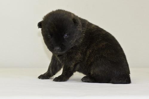 Kumi-Litter5-Day20-Puppy5-Male-c