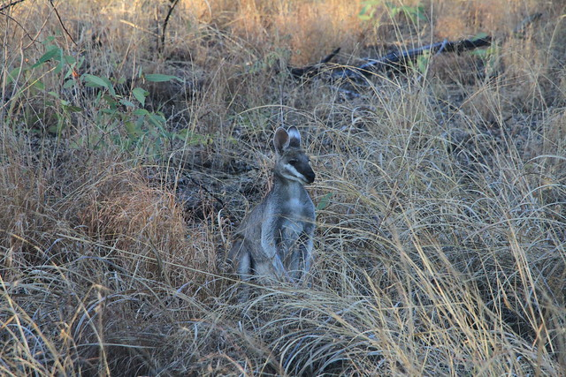 Whiptail Wallaby-澳洲昆士蘭Undara Experience-20141116-賴鵬智攝