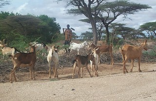 Goats in Turkana county