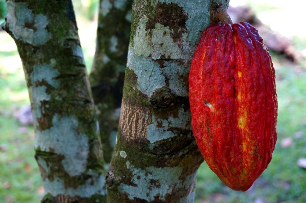 Mature Cacao Cocoa Pod