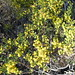 Small photo of Acacia acinacea (Gold-dust Wattle).