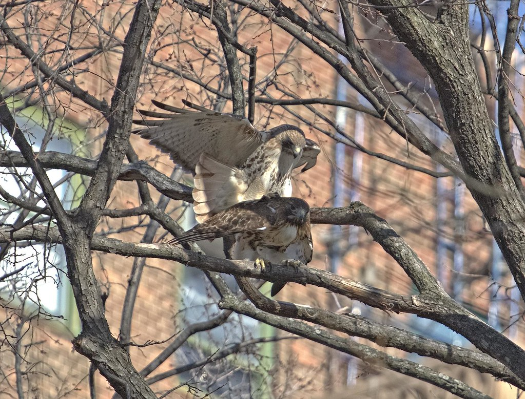Hawks mating in Tompkins Square