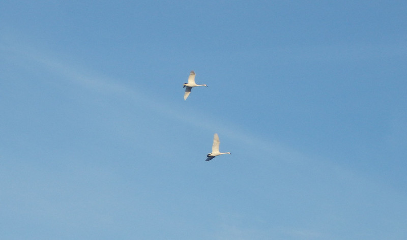 two swans flying against a pale blue sky