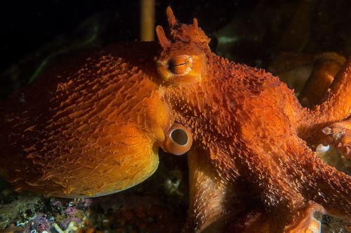 Giant Pacific Octopus at Ucluelet Aquarium, Vancouver Island, British Columbia