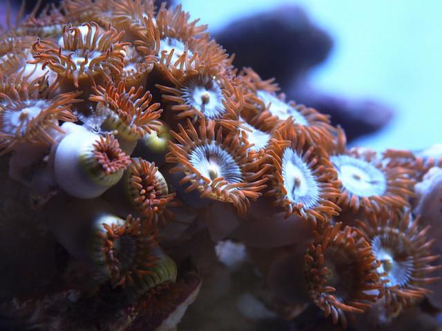 P4022472 鈕扣珊瑚