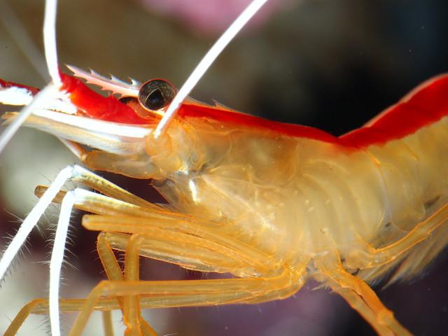 P4012442 清潔蝦