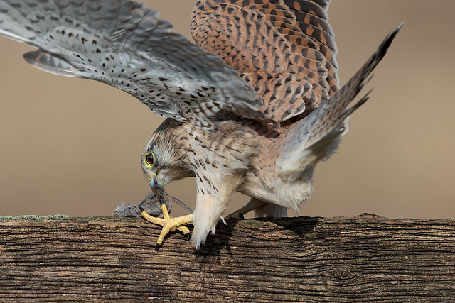 Kestrel (f) Feeding