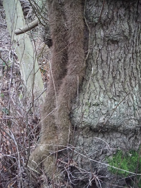 Parasitic Growth on Ivy on Tree, Flitwick Moor