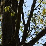 Oak trees: Quercus coccinea