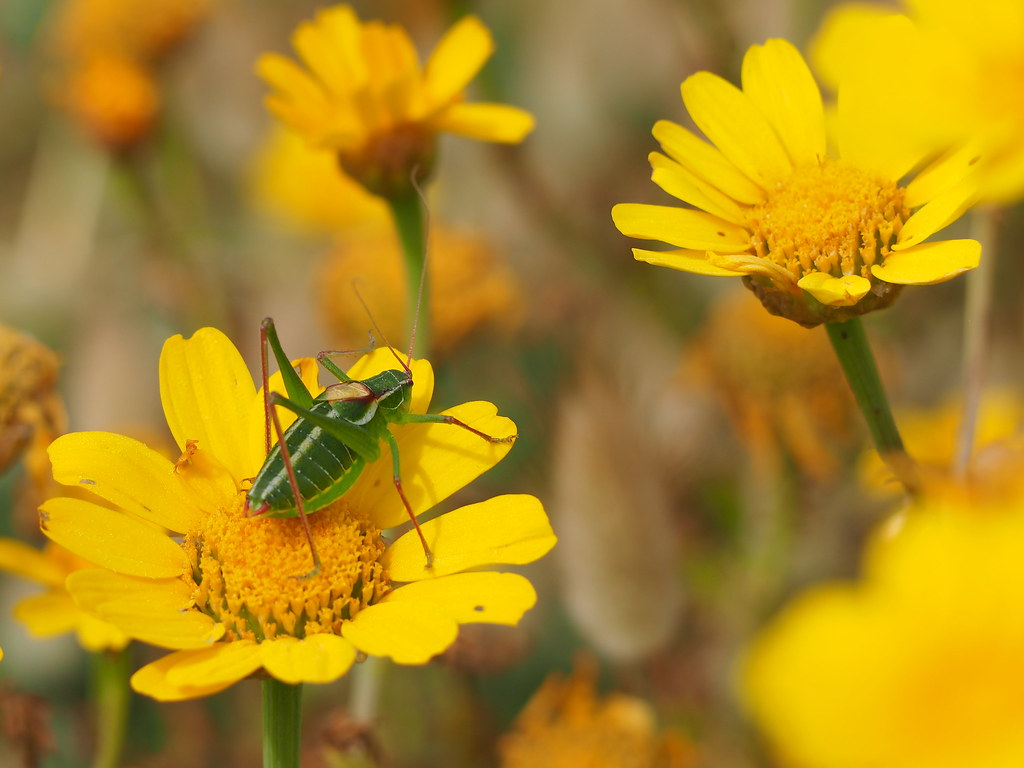 A young grasshopper on a daisy flower