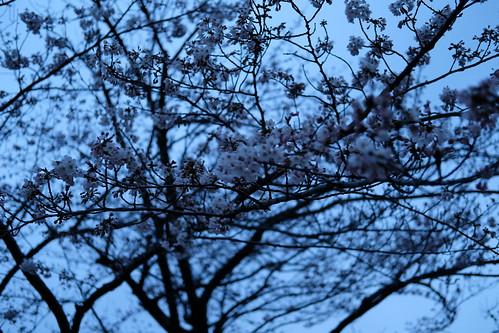 sakura blue (Auto White Balance)