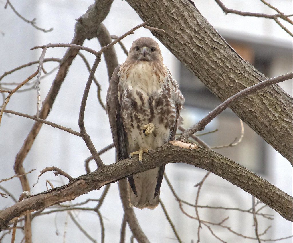Female hawk, likely suffering from rat poison